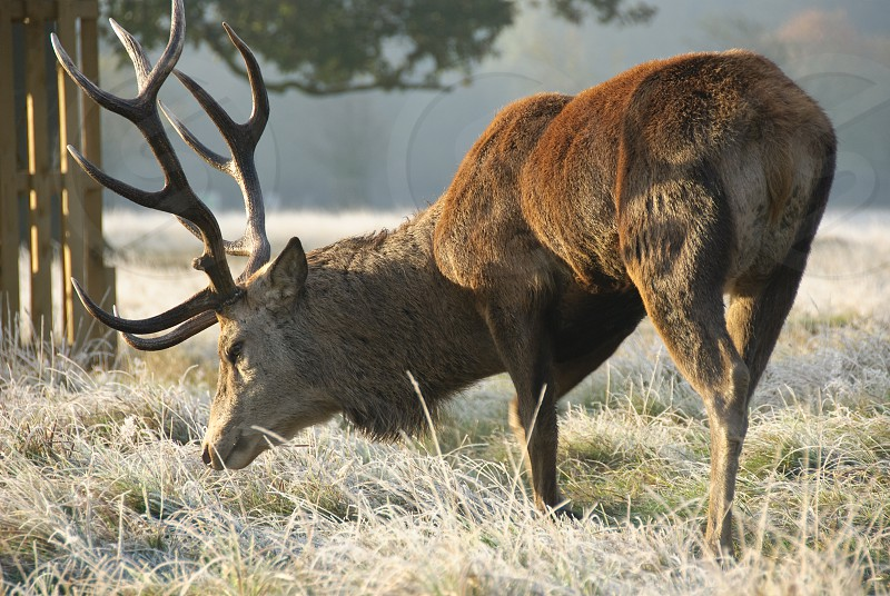 Large red stag deer stag on a frosty sunny morning photo