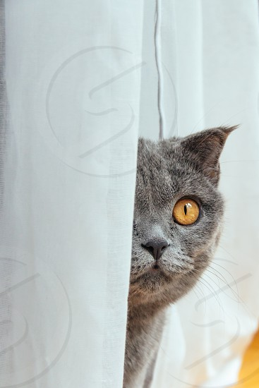 Grey Scottish Fold cat looking out from among the curtains photo