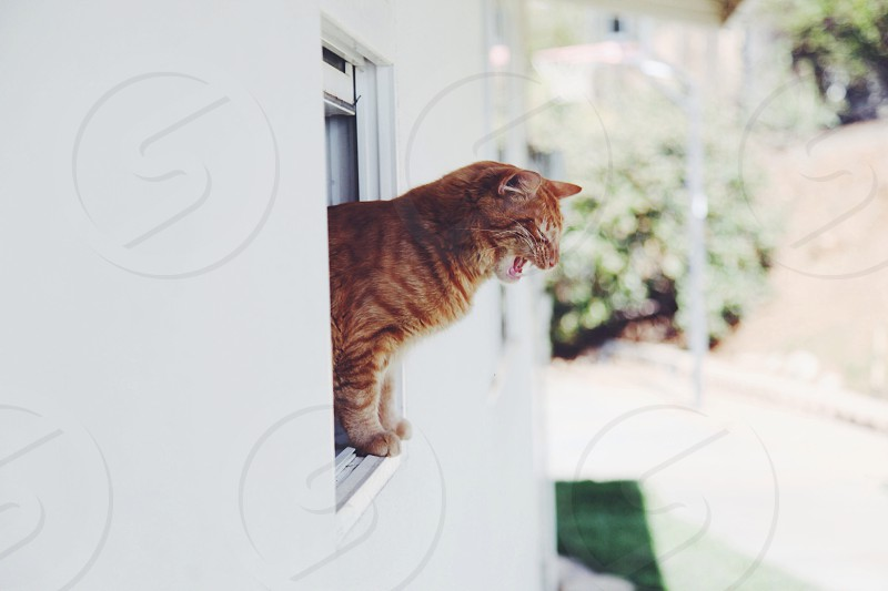 orange tabby cat leaning out of the window photo