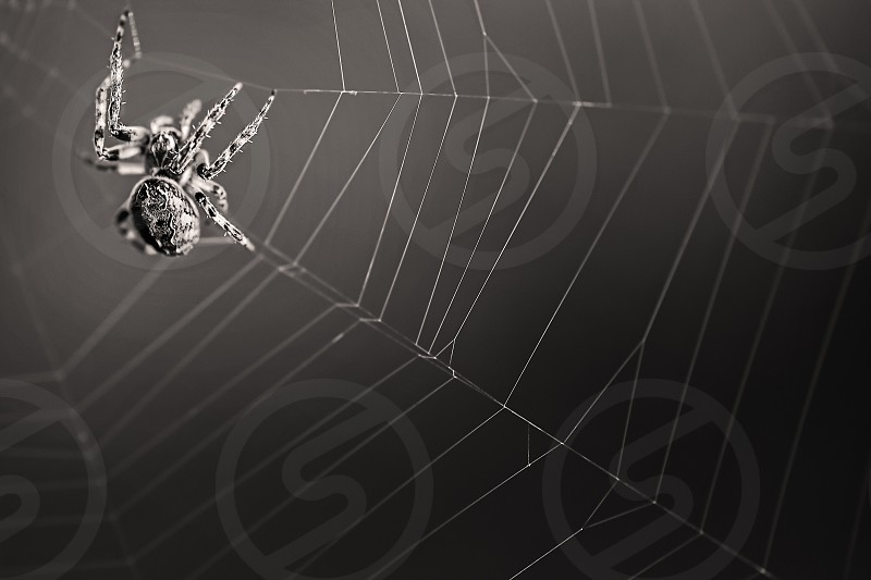 Close up of a spider in a web in black and white. photo