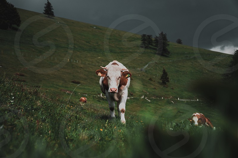 beautiful white brown free cow walking somewhere in austria. Completely free walking around and eating in the austrian mountains photo