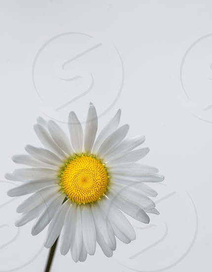 Highlight White & Yellow Daisy photo