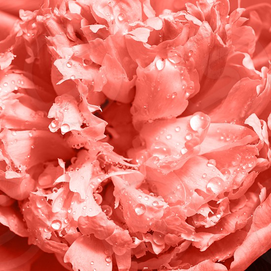 Delicate peony flower with water drops. A natural pattern of petals as a mock-up for a postcard in a trendy color of the year 2019 Living Coral pantone. photo