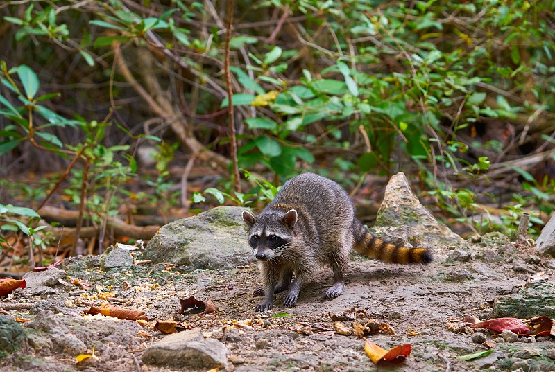 Mapache wild raccoon in Riviera Maya mangroove at Mexico photo