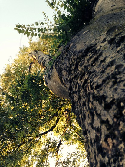 Looking up at a very crooked tree photo