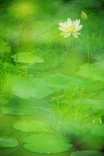 mean and green green leaf lotus water drops radial pattern radially radiating lines natural day light outdoor macro close-up vertically long longitudinally long DSLR camera photo