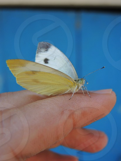 yellow and black butterfly photo