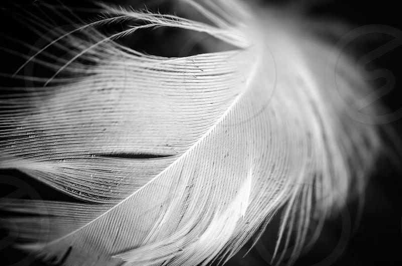 feather black and white floating background macro close-up art fine art photo
