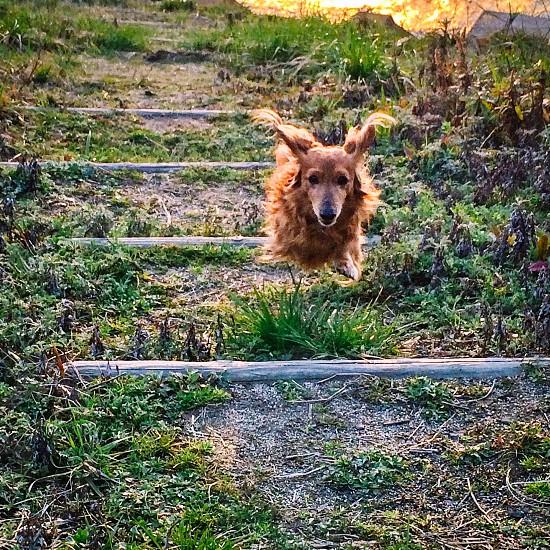 tan long coat dachshund jumping photo