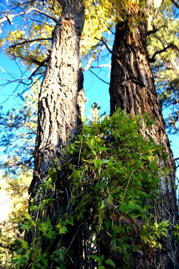 Colorado Rocky mountain trees photo