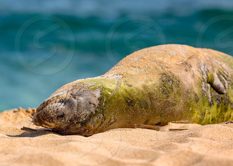 An endangered Hawaiian munk seal rests in the sun on Kauai Hawaii. photo