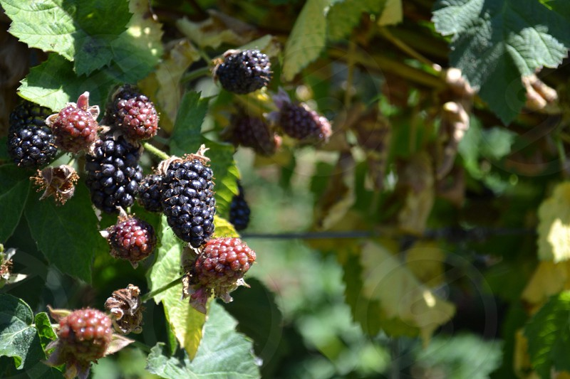 focus photo of black and pink berries photo