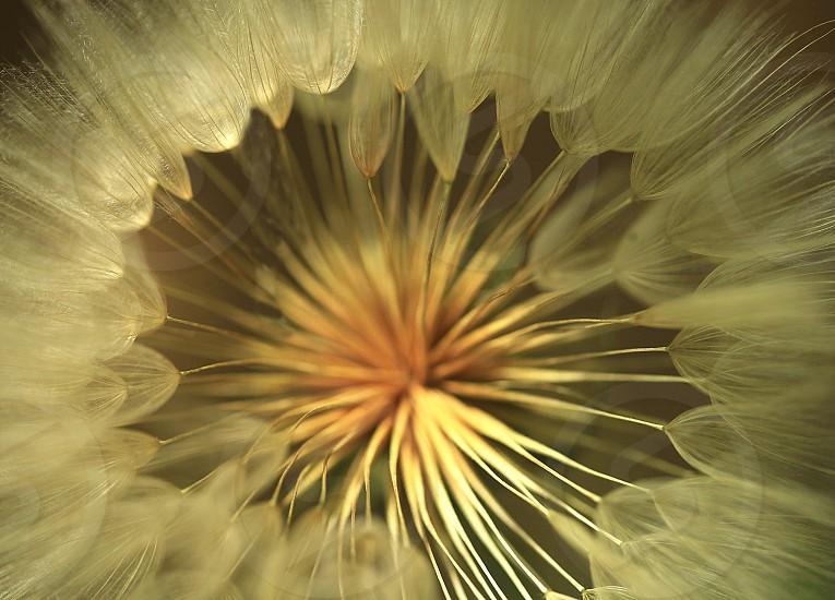 big fluffy dandelion photo