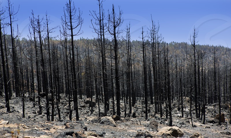 Black ashes of canary pine after forest fire at Teide National park in summer 2012 photo