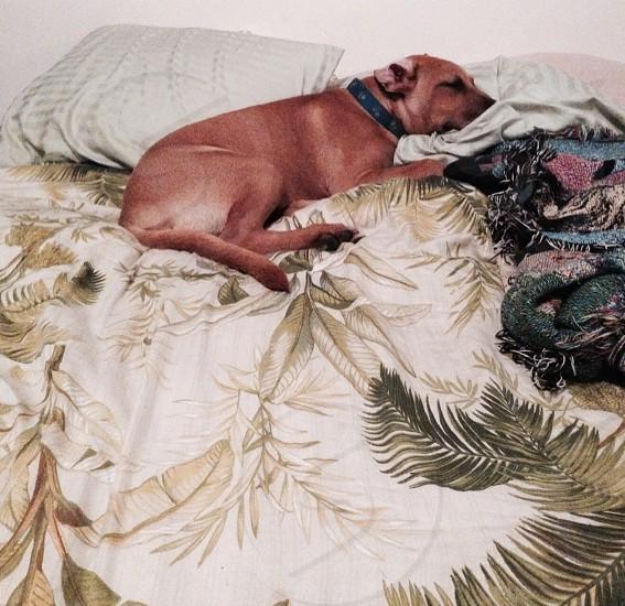 adult tan American pit bull terrier photo
