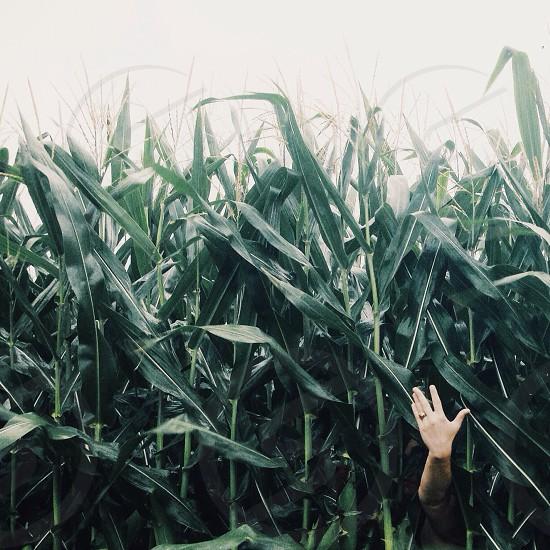righ hand at corn field photo