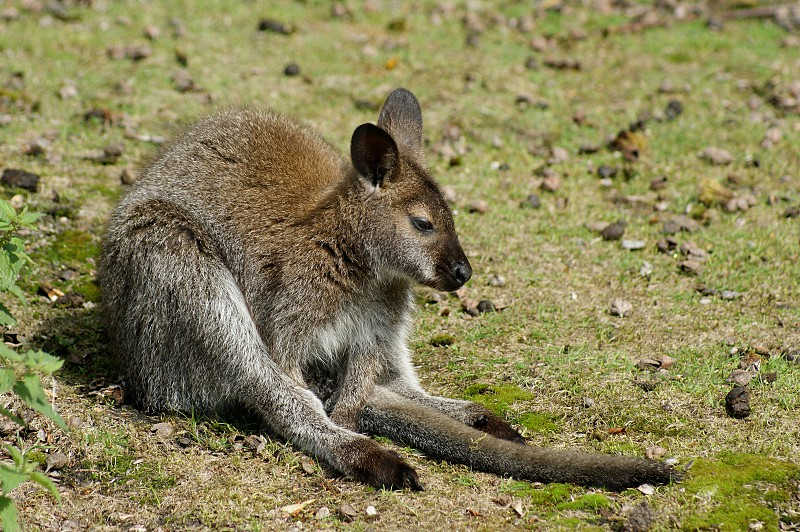 Wallaby fed up depressed tired sad photo