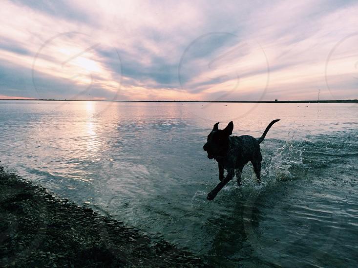 dog running in water portrait photo