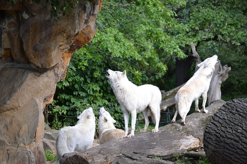 Wolves howling in the Zoologischer Garten Berlin photo