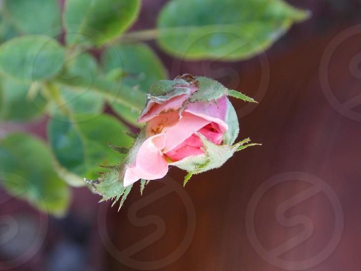 pink rose bud on green leaf stem photo