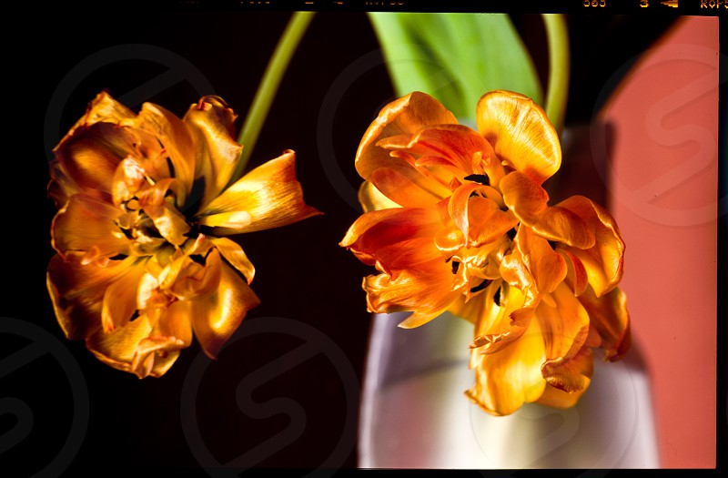 golden tulip withered vase yellow flower decay still life light satin photo