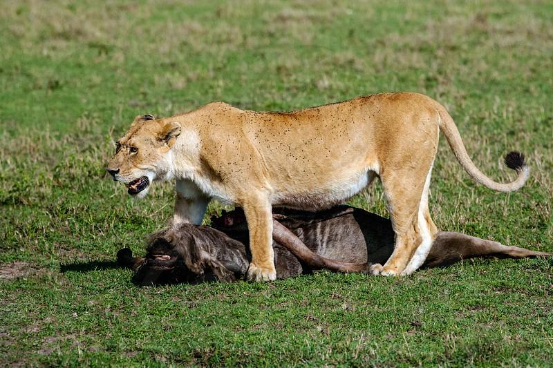 African Lion with prey Masai Mara National Park Kenya. photo