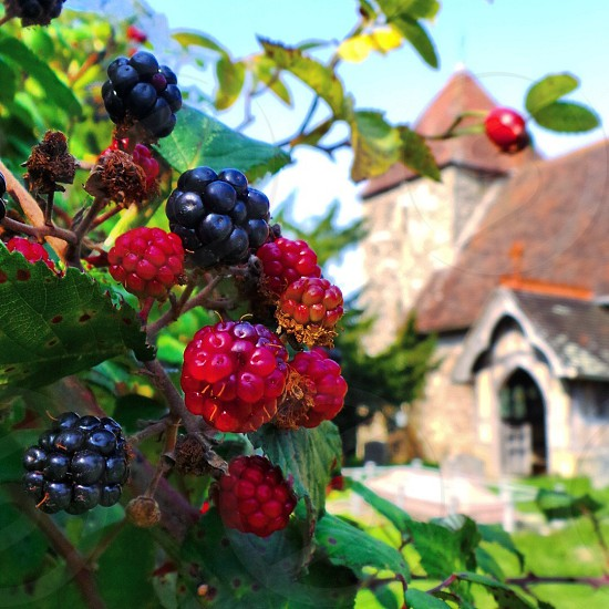 A Blackberry bush in the foreground of a church in East Chiltington Sussex. photo