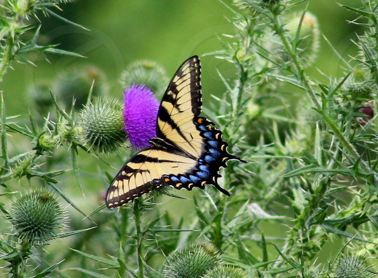 tiger swallowtail butterfly perched on purple flower photo