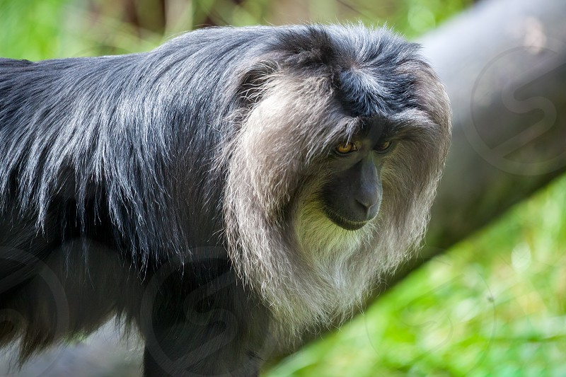 Close up of a Lion-tailed Macaque (Macaca silenus) photo