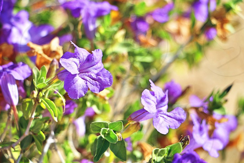 Spring flowers nature natural flower plant spring season perennial viola violet purple photo