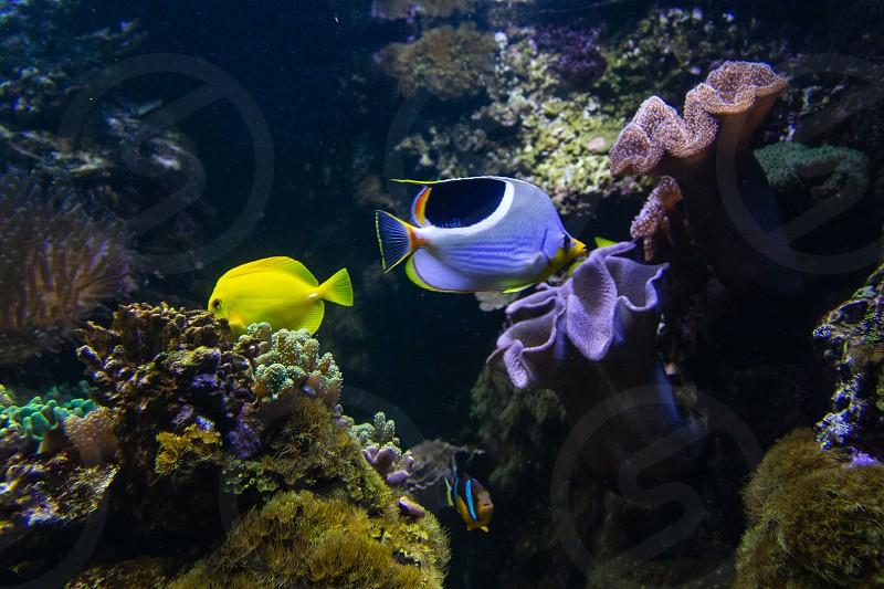 Fish in salt water aquarium photo