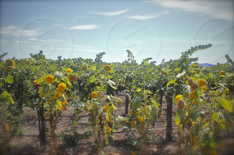 Sunflowers in the vineyards northern California wine country photo