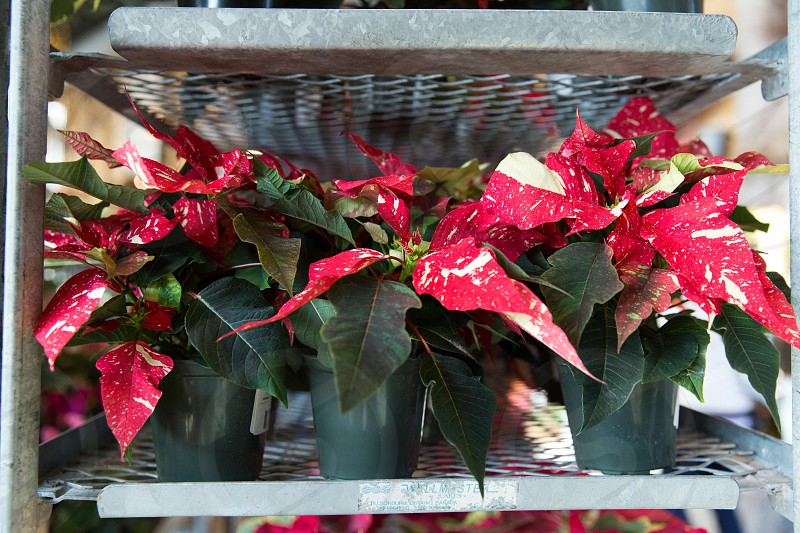 red potted poinsettia flowers on shelf photo
