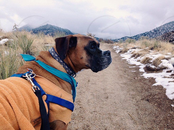 brown boxer dog in blue harness on trail photo