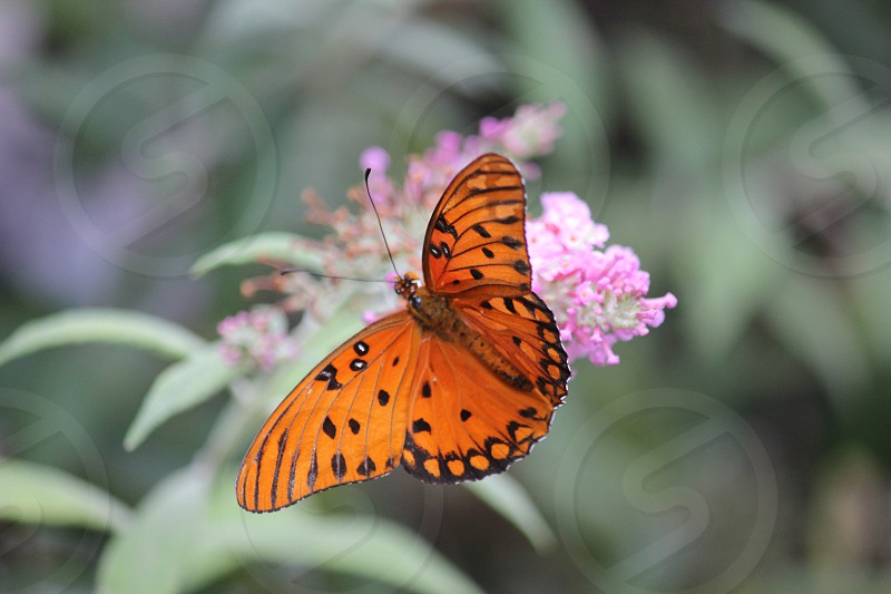 gulf fritillary butterfly perched on purple flower macro photography photo