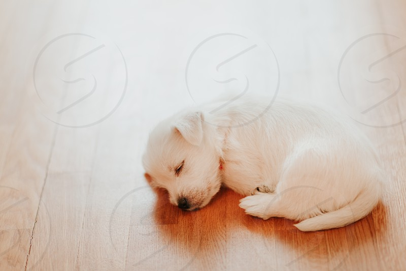West terrier puppy lying on the floor photo