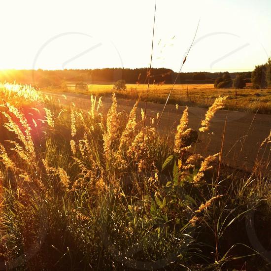 brown grain crop  photo