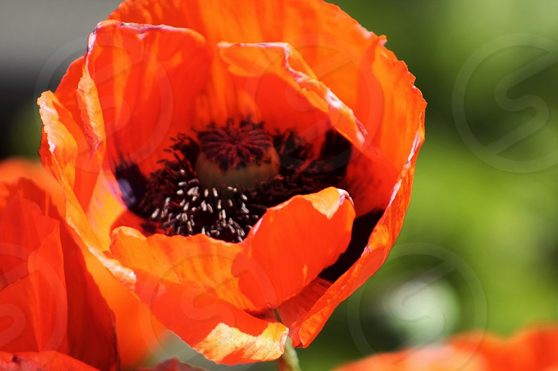 Poppy and seeds photo