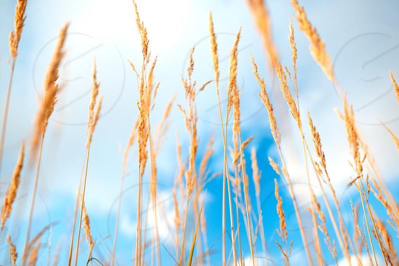 Grass ears over the blue sky. photo