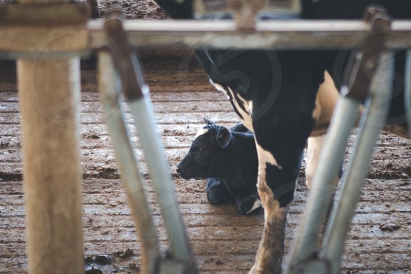 black calf lying beside adult cow photo