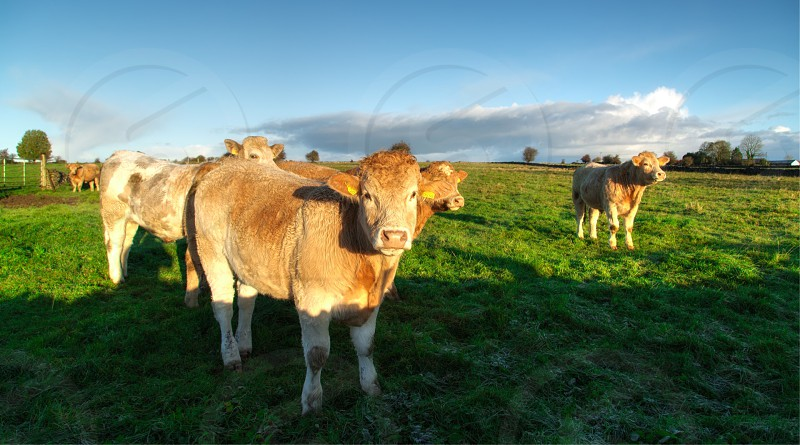 Irish Cow photo