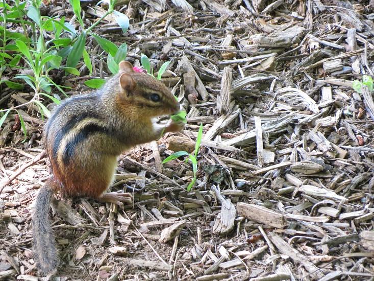 chipmunk outdoors nature photo