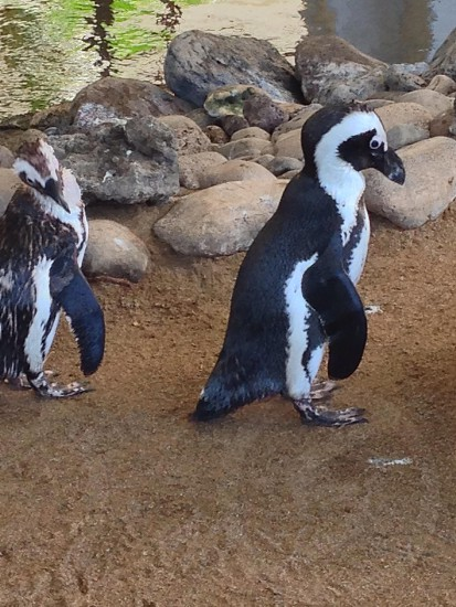 Peggy the gym is working wonders for you! Penguins pair cute funny photo