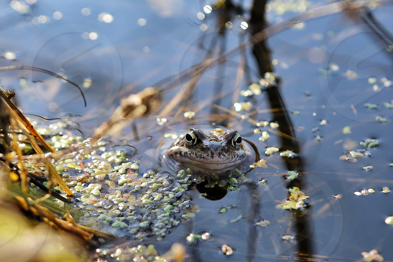 marsh pond frog nature  swamp looking water reflection  photo
