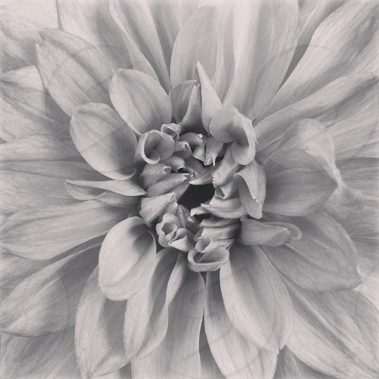 Center of a dahlia flower with whorls of petals black and white. B&W plant macro photo
