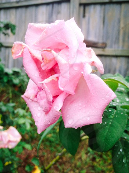 rose on a rainy day photo