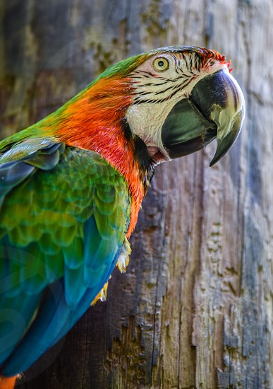 white green blue and red macaw against brown wood photo