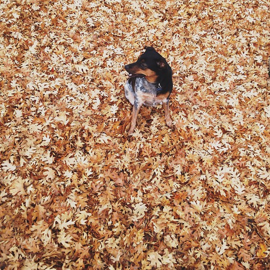 black and brown dog sitting on brown maple leaves photo