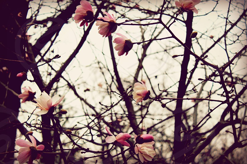 Newly blossomed pink magnolia flowers on bare tree beginning of spring  photo