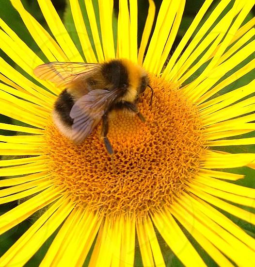 Busy Beemacroclose upbeefurfurrypollenflowerpetalsyellowwings photo